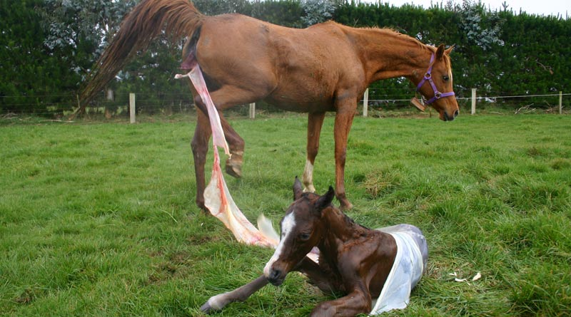 foaling-stock-800-445