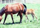 Is embryo transfer the answer for problem and competition mares?