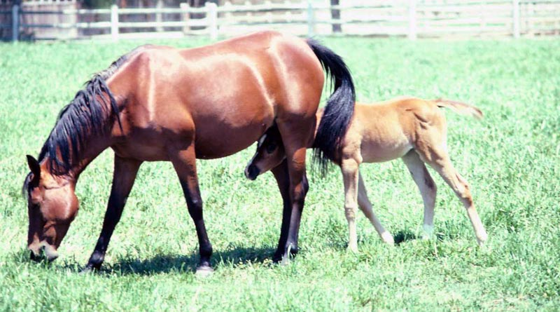 Is embryo transfer the answer for problem and competition mares ...