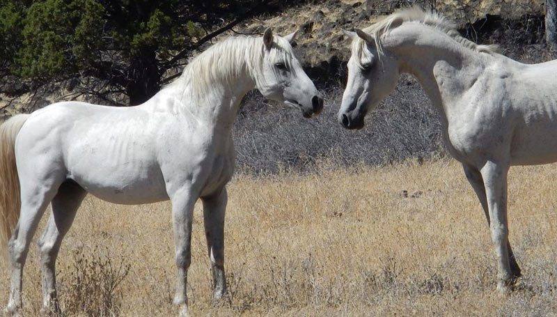 """Can Arabian horses survive in wilds of a mountain wilderness? Yup! We have two wild (feral) Arabians that range on our lands ... and they are special,"" writes Will Simpson."