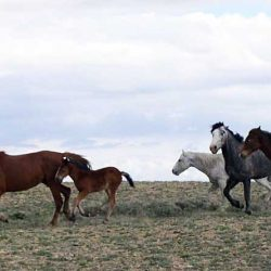 Thirty wild horses will be fitted with GPS collars for the 12-month study in Wyoming's Adobe Town Herd Management Area. Photo: BLM's environmental assessment for the project