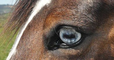 Horses seem to cope well with removal of an eye, the findings of research suggest.