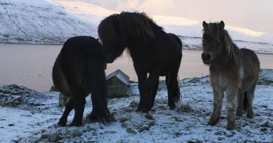 The Faroe Island horse, whose home is an archipelago between the Norwegian Sea and the North Atlantic, about halfway between Norway and Iceland, 320 kilometres north-northwest of mainland Scotland.