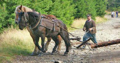Horses haul a log-rolling in woods in the Śnieżnik Mountains of Poland. Photo: Marek Tomaszewski, Barlinek (Own work) CC BY-SA 2.5 via Wikimedia Commons