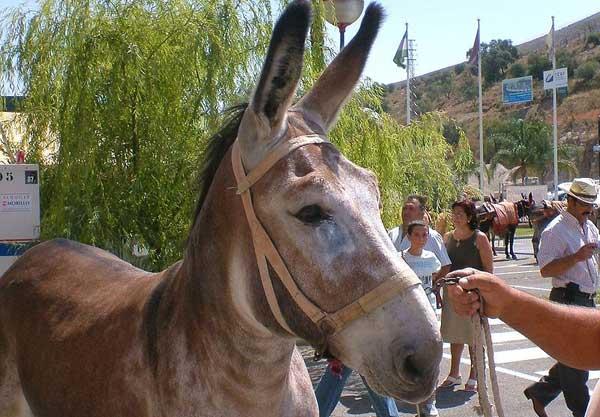 andalusian-donkey-600x417