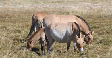 Eating choices of three horse species in the Gobi Desert revealed in tail-hair study