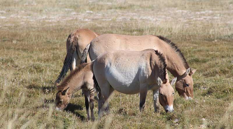 Grazing Przewalski᾽s horses in the Dzungarian Gobi, in Mongolia Photo: Martina Burnik Šturm/Vetmeduni Vienna