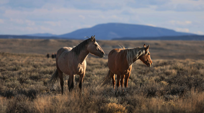 The HSUS successfully fought back the Wild Horse and Burro Advisory Board's recommendation to euthanize 45,000 horsesin holding facilities, and helped secure assurances from the Bureau of Land Management that no healthy horses are to be euthanized.