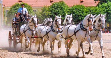 Kladruber horses in harness. Photo: Lubomír Havrda CC BY 3.0 via Wikimedia Commons