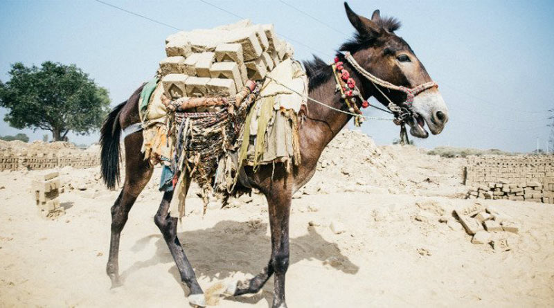 The welfare of working horses, donkeys and mules is improving thanks to radio broadcasts in developing countries. © Brooke