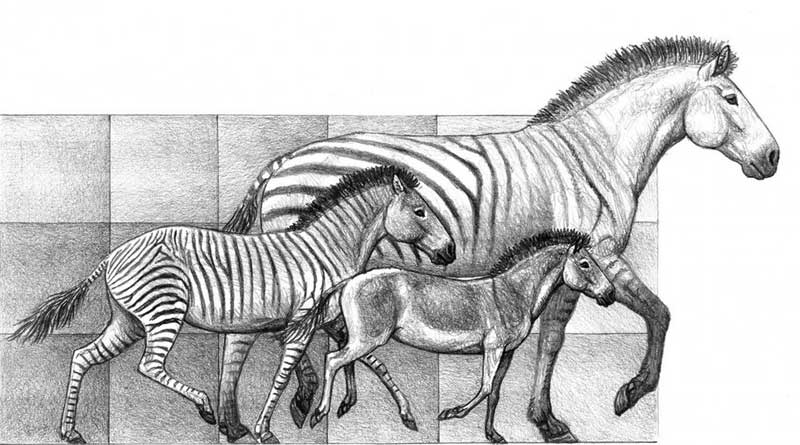 Three species of Hipparion, that lived in the Iberian peninsula between 9 million years and 5 million years ago. Image: Mauricio Antón