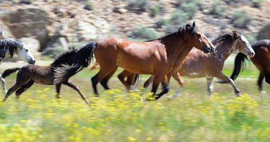 Challis Wild Horses in the Central Idaho high desert.