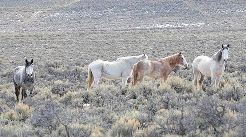Challis Wild Horses in Idaho. Wild Love Preserve