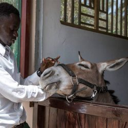 A student training at the new centre opened by The Gambia Horse and Donkey Trust. © Jason Florio