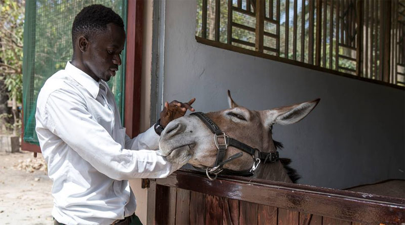 A student training at the new centre opened by The Gambia Horse and Donkey Trust.