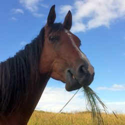 Researchers have compared the way horses chew grass with ruminants such as cows and sheep.