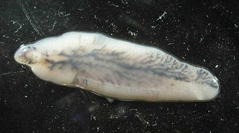 An adult Fasciola hepatica. Photo: I, Flukeman, GFDL, CC-BY-SA-3.0 via Wikimedia Commons