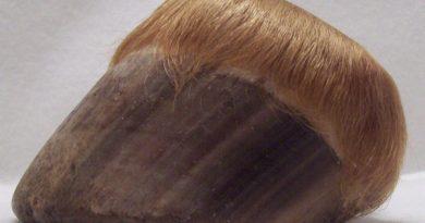 A naturally worn brumby hoof.