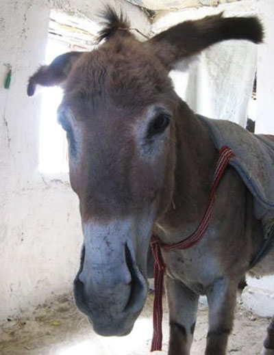 A donkey in Afghanistan with slit nostrils.