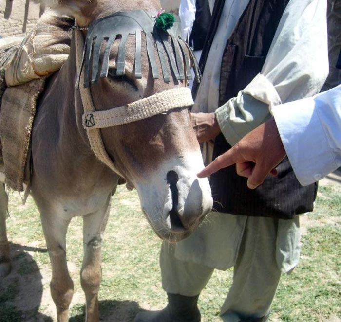 Thankfully, the practise of nostril slitting in donkeys appears to be a relic of the past.