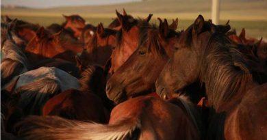 Kazakh horses in North Central Kazakhstan. Photo: Ludovic Orlando, Natural History Museum of Denmark, CNRS.