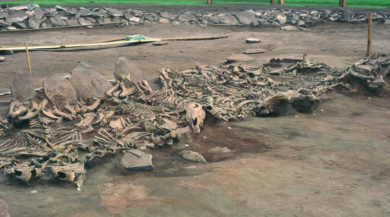 The Scythian Kurgan burial site at Arzhan in the Tuva Republic, Russia, dating from the 7th century BC. This is grave 16, showing the unearthed skeletons of 14 horses. Photo: Michael Hochmuth, German Archaeological Institute, Berlin.
