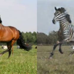 Algorithm's party tricks include turning pictures of horses into zebras