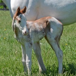 Chrome overload: Red and white thoroughbred colt a real stunner
