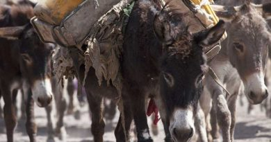 Donkey dying in droves to meet demand for traditional Chinese medicine