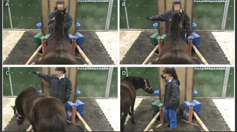 Sequential screenshots of a typical learning trial. (A) The horse is ready in the starting position. (B) The experimenter is giving stage 1 indication toward the left compartment. (C) The horse is entering the left compartment. (D) The horse has successfully entered the left compartment and is going to receive a food reward in the left bucket