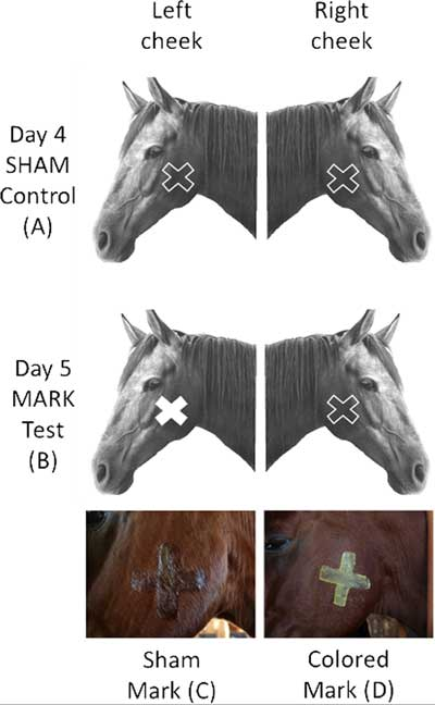 The shape, color and position of the sham and colored marks during experiment. Image: Baragli et al https://doi.org/10.1371/journal.pone.0176717