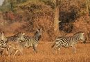 Zebras rely on memory for the route of their annual migration, study concludes