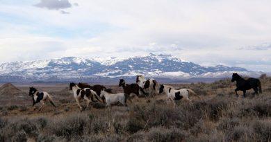 Wild horses in Wyoming. ©BLM