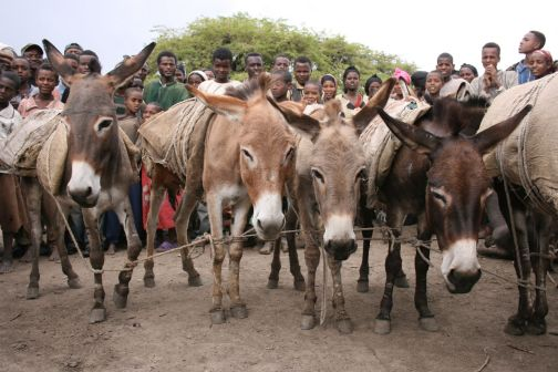 Villagers with hobbled donkeys at a market in Ethiopia.
