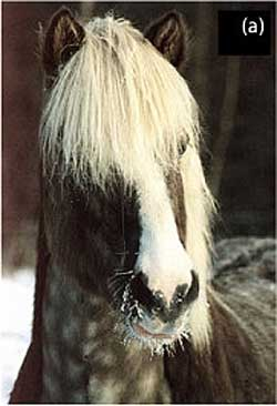 A Black Silver horse exhibiting strongly diluted long hair with darker roots and flat gray, dappled body colour. Photo: Tim Kvick CC BY 2.0 via Wikimedia Commons
