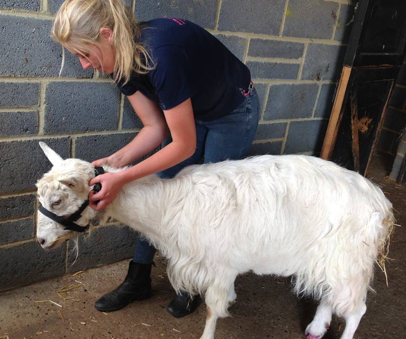 Not just horses: McTimoney Animal Practitioner Sophie Plummer-Jones works on Willow the goat at the Remus Memorial Horse Sanctuary in Essex.