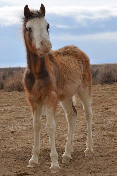 A mustang foal in Wyoming.