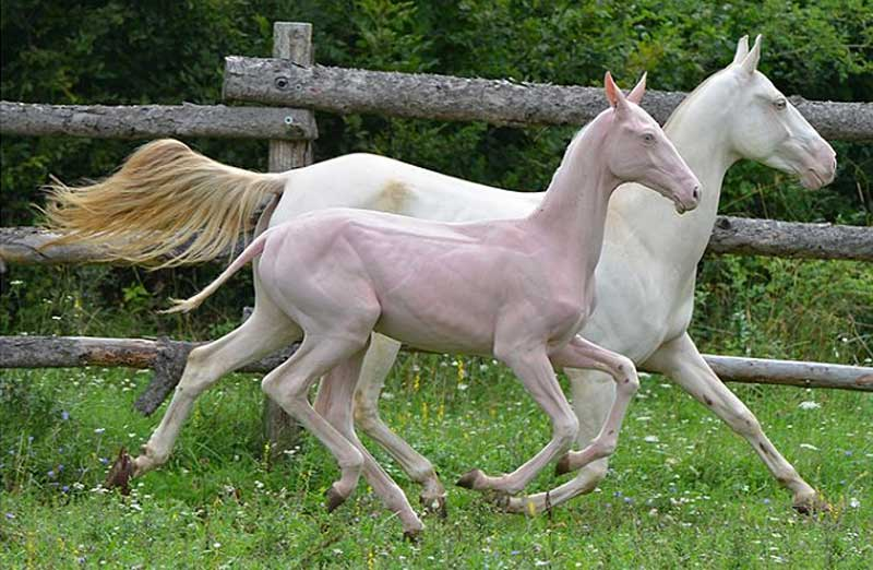 Hairless horses: Researchers explore genetic cause of ...