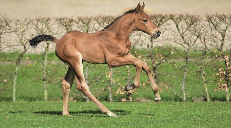 Holsteiner foal Hengst (Kingsroad x First class by Cassini I)