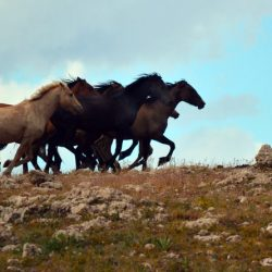 Wild horses in the Pryor Mountains. © Jana Wilson/BLM