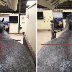 Romeo before and after treatment by a McTimoney Animal Practitioner.