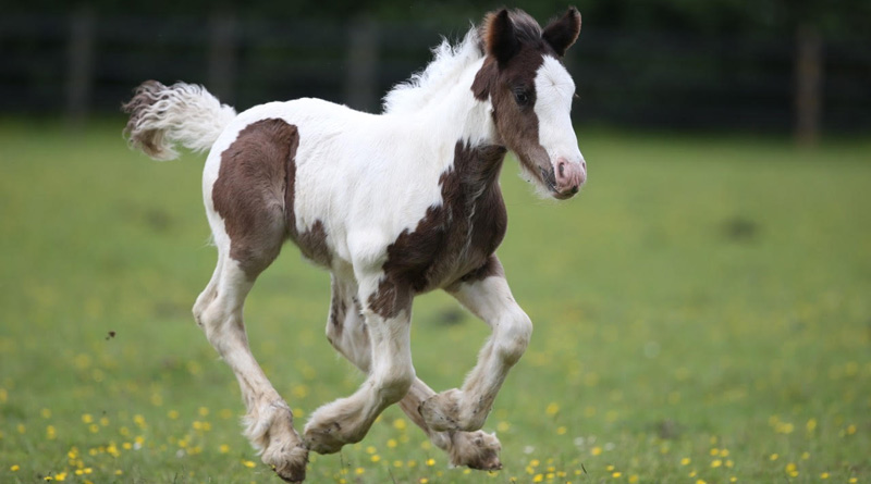 One of the nine cob foals who are nearly ready to be rehomed.
