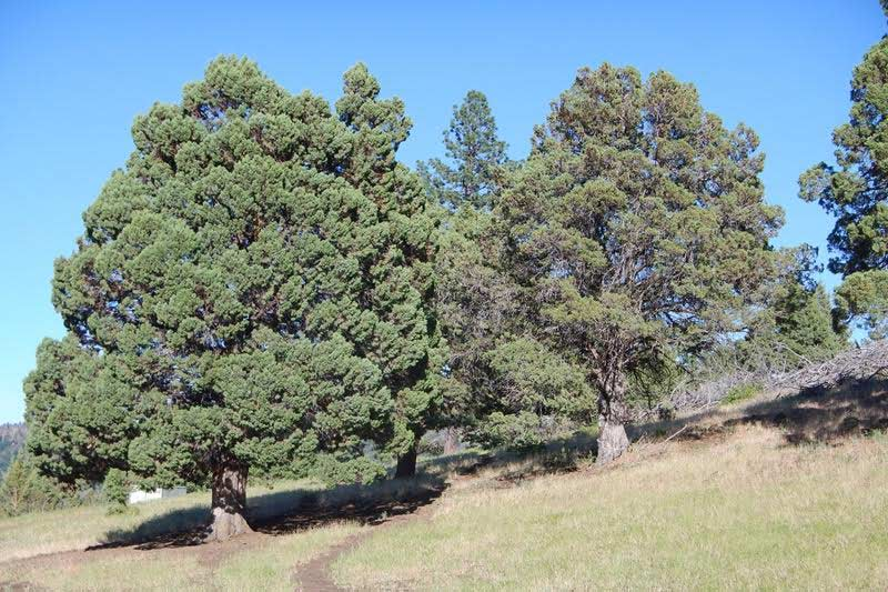 A juniper tree that is frequented by horses stands out and is visibly more vibrant and more fire resistant (note the health of its canopy) than nearby junipers that are not frequented, with sparse dry canopies.