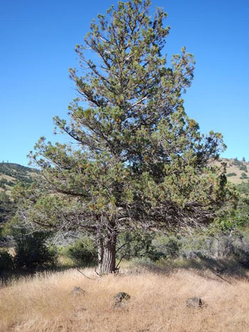 A juniper that hasn't been frequented by horses: Note the fuel at its base, and the sparse canopy, compared with the trees above.