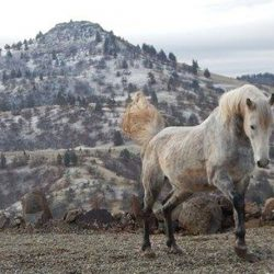 Majestic, one of the wild stallions of Wildhorse Ranch. © Laura Simpson