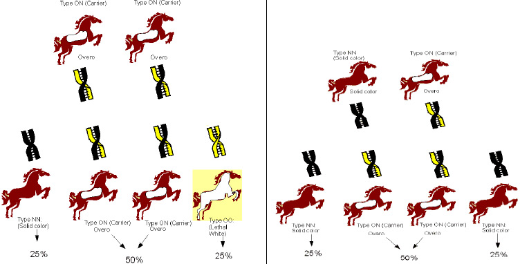 Overo breeding and the changes of producing Lethal White offspring.