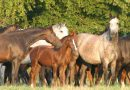 Season of birth affects foal size, researchers find