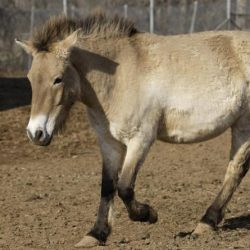 Przewalski's horse Maja has died of renal failure at the age of 13. © Mehgan Murphy, Smithsonian Conservation Biology Institute