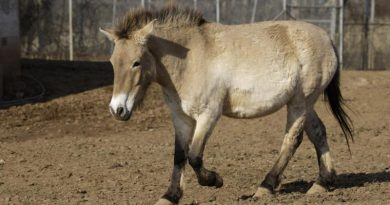 Loss of Przewalski's mare a blow for North American breeding