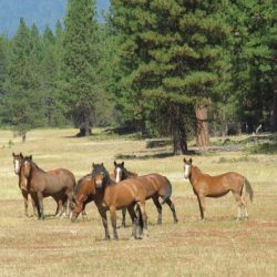 Native Kiger horses grazing fire fuels in the national forest.